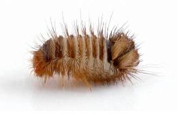 Halı Böceği Nedir ? Halı Böceği İlaçlama Antalya İlaçlama Firması