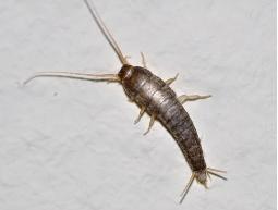 Gümüş Böceği İlaçlama Gümüş Böceği Nasıl İlaçlanır ? Gümüş Böceği Nedir ?