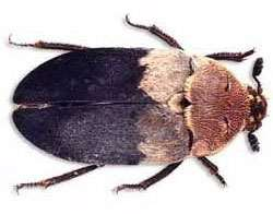 Deri Böceği Nedir ? Nasıl İlaçlanır ? Antalya Deri Böceği İlaçlama
