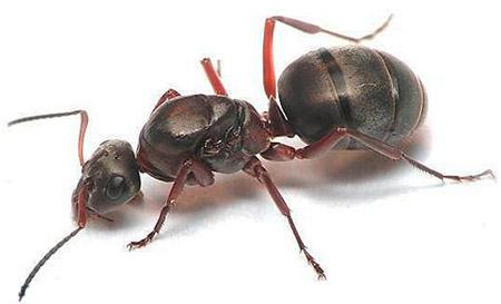 Antalya Karınca İlaçlama Karınca Neye Gelir ? Karıncalardan Nasıl Kurtulurum ?
